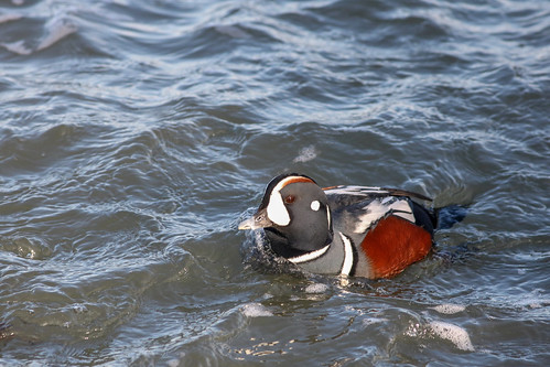 Male Harlequin Duck havin' fun