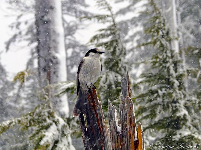 Snowy day. Cypress, Canada, Sony DSC-HX1