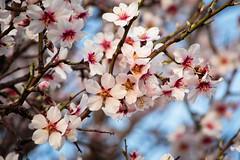 Sakura en Perales