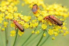 Common Red Soldier Beetle ... Rhagonycha fulva