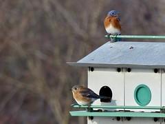 Bluebird Couple