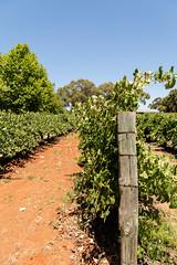 Vines of Sandalford