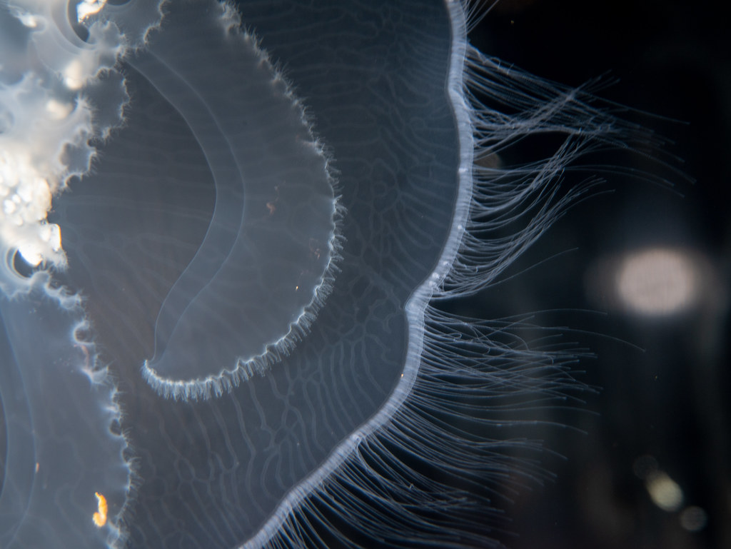 Moon Jelly_1