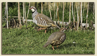 Red-Legged (French) Partridge Pair