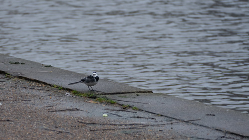 Wagtail at water's edge
