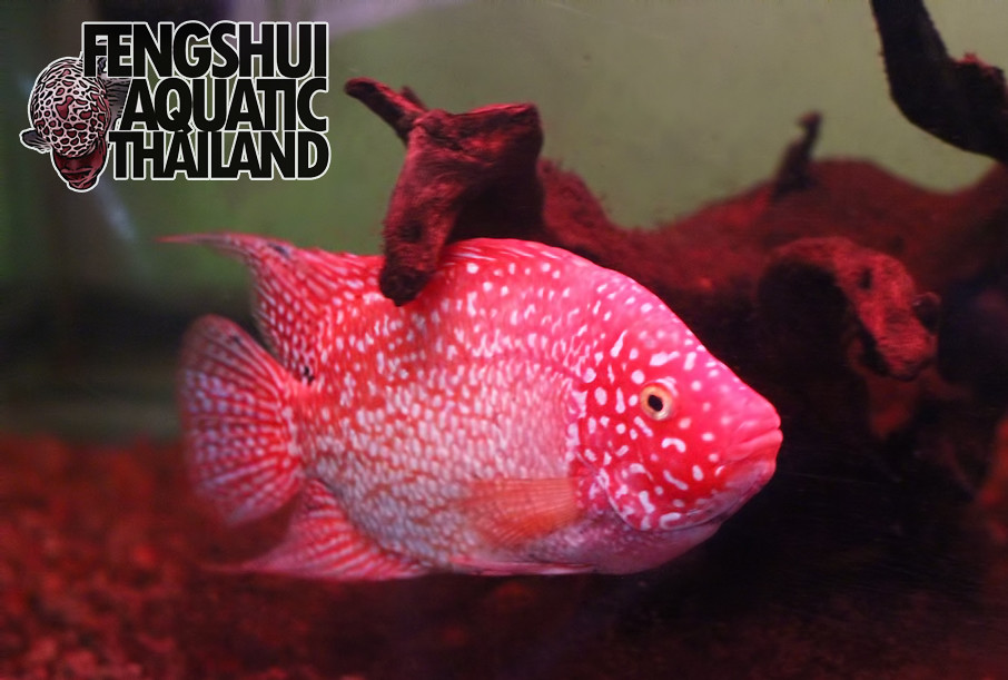 Super Red Texas | SRT from Fengshui Aquatic Thailand | David Leuken