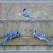 Three Jays by pakart62