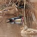 First Birds of 2019 - Wood Ducks of Byer's Farm