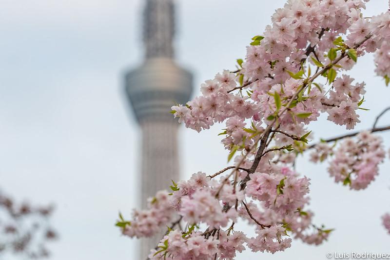 Cerezos del parque Sumida