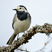 D242736 Pied Wagtail
