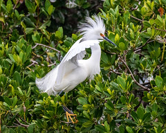 Snowy Egret Looking for a Mate