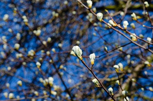 Whitebeam, leaves beginning to open