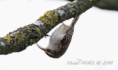 Grimpereau des jardins - Certhia brachydactyla - Short-toed Treecreeper : Michel NOËL © 2019-8673.jpg