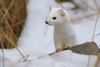 Long-tailed weasel (Mustela frenata) with Meadow vole