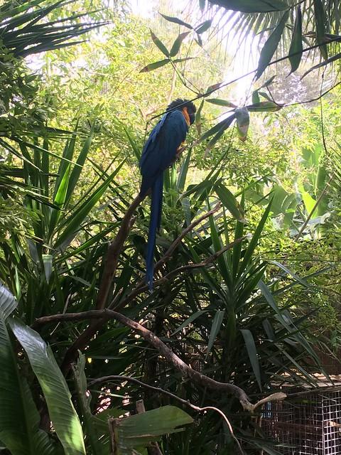 McCoy Parrot - Portugal