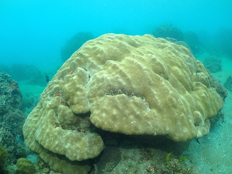 基翬海域的微孔珊瑚