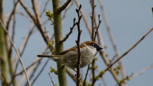Sparrow in a bush