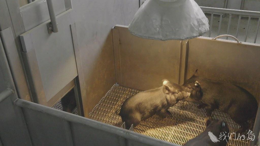 蘭嶼豬多應用在心血管疾病的臨床實驗,而李宋豬則應用在腦部腫瘤、腦神經等臨床實驗。