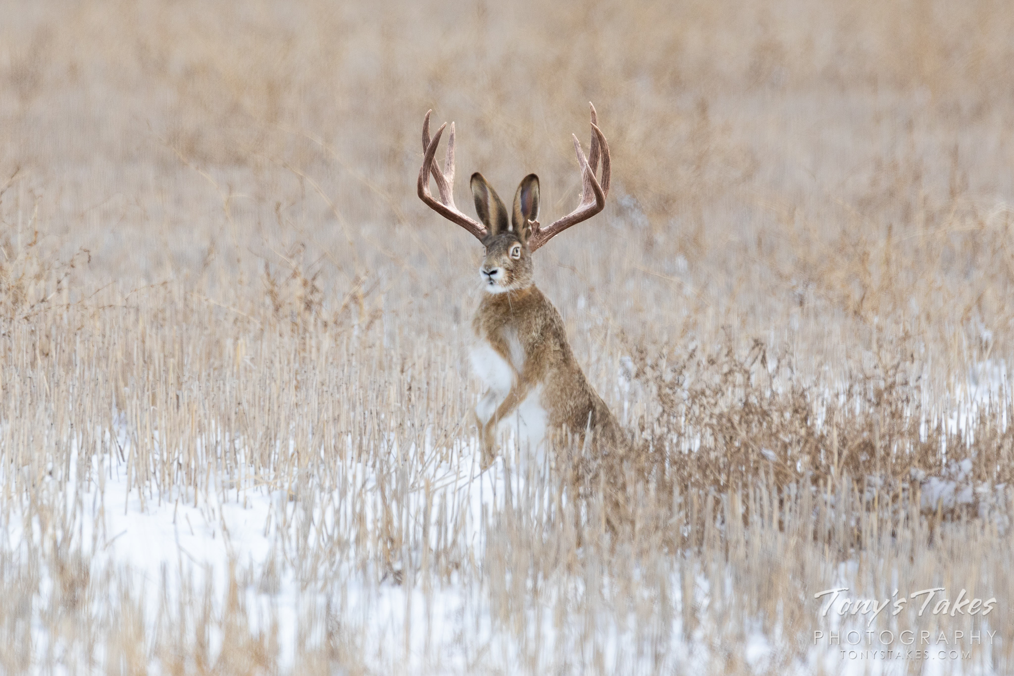 Photo of a jackalope brings to an end a long quest
