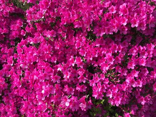 Vibrant Azaleas