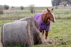cheval au bec d'andaine _ Mont st Michel - Photo of Champeaux