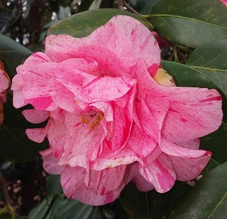 Sunday Morning Camellia. | by The Quiet Poet