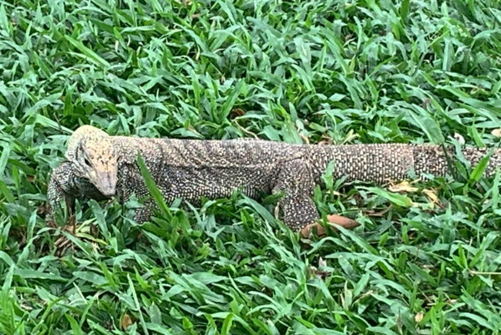 Hiking in Singapore: Monitor Lizard
