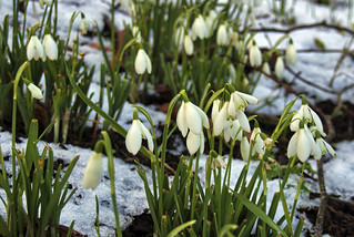 Snowdrops in the snow, Winchester, UK