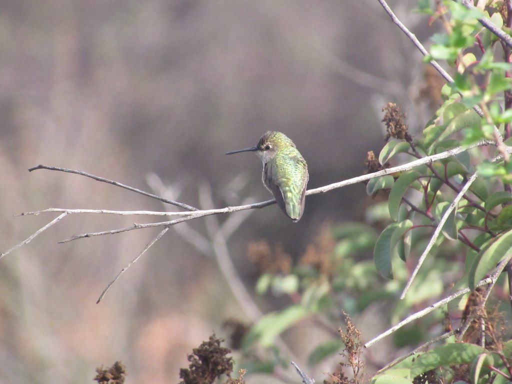 Hummingbird Sp. 1/6/19