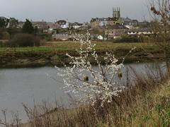 Between blackthorn blooms and Bridgetown