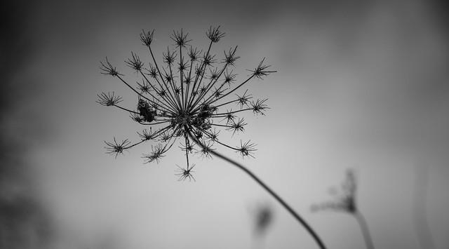Firework weeds