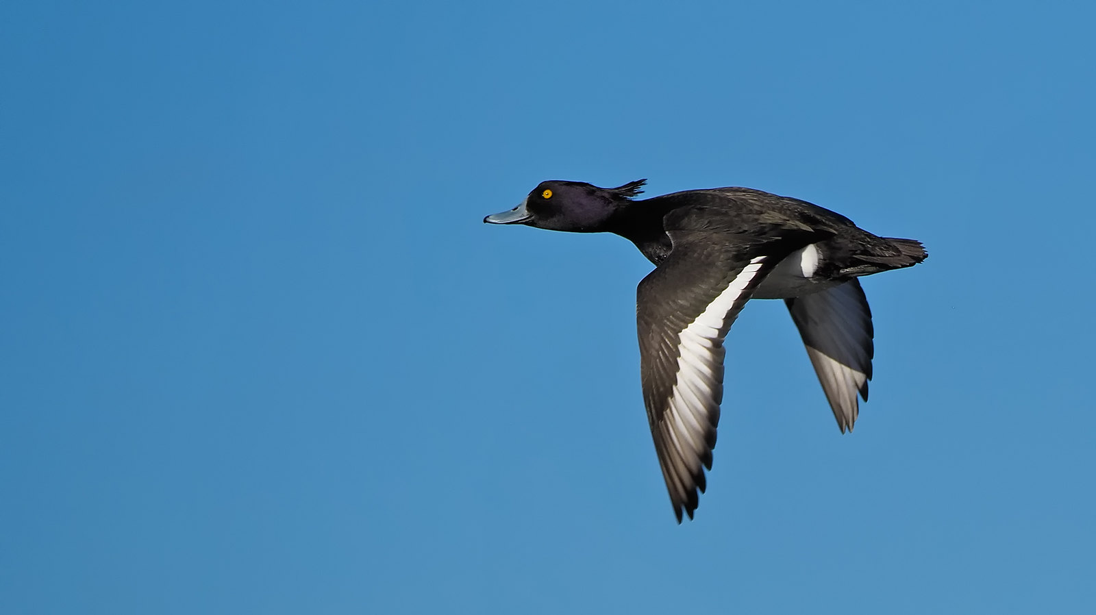 Tufted Duck fly-by
