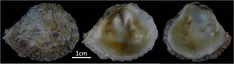 另一新紀錄物種矮牡蠣體型較小,殼也比較薄,外型呈卵狀三角形。