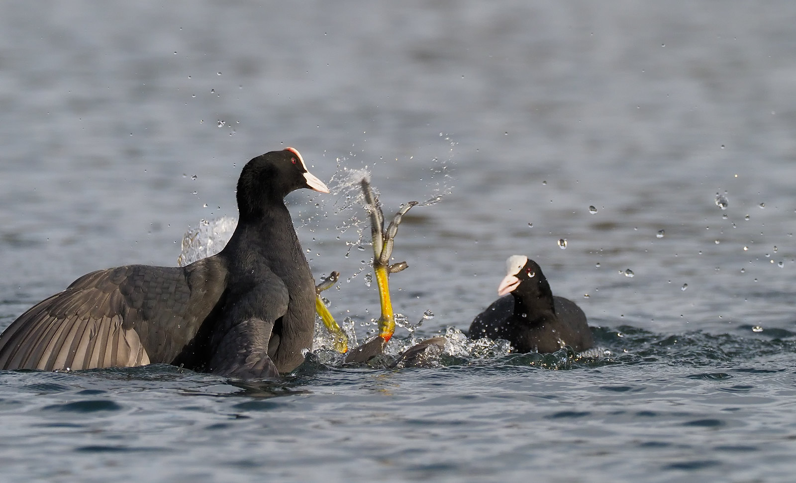 Bloody Coot fight!!