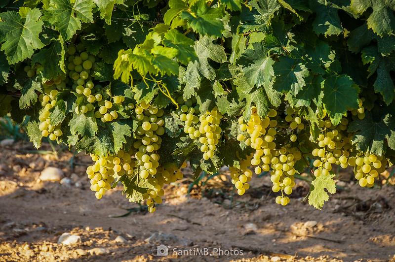 Uva madurando cerca de La Senabre