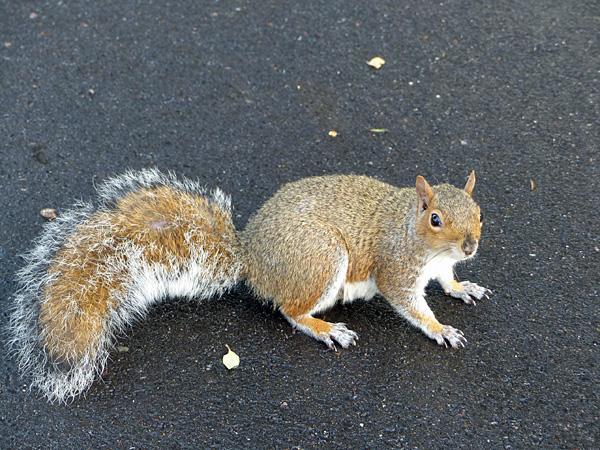 écureuil brompton 1