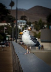 Pacific Gull at the Cayucos Pier No.3