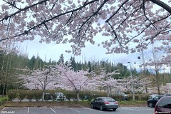 Cherry Blossom at North Creek Park