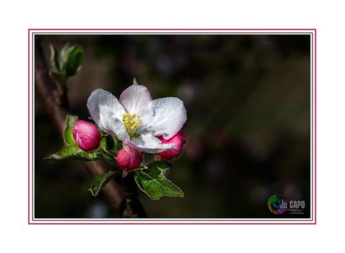 """Pommier : """"Une pomme par jour éloigne le médecin, pourvu que l'on vise bien . """" de Winston Churchill"""