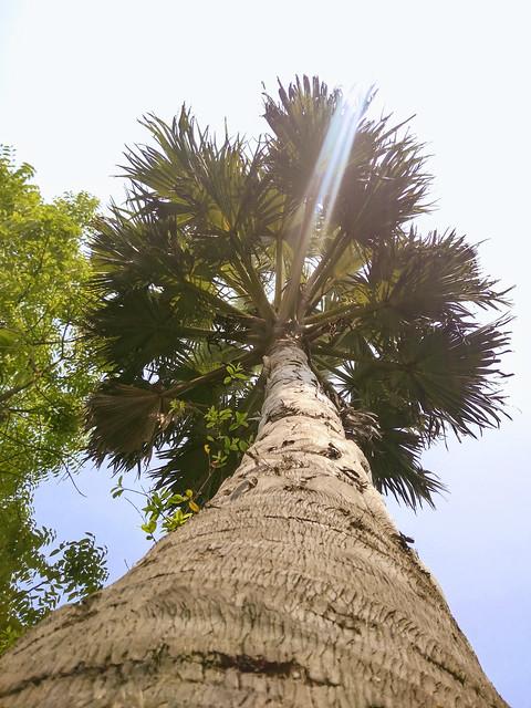 Palmyra Palm Tree (Borassus flabellifer)
