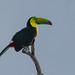 COSTA RICA   :   Toucan à carène  (Ramphastos sulfuratus)