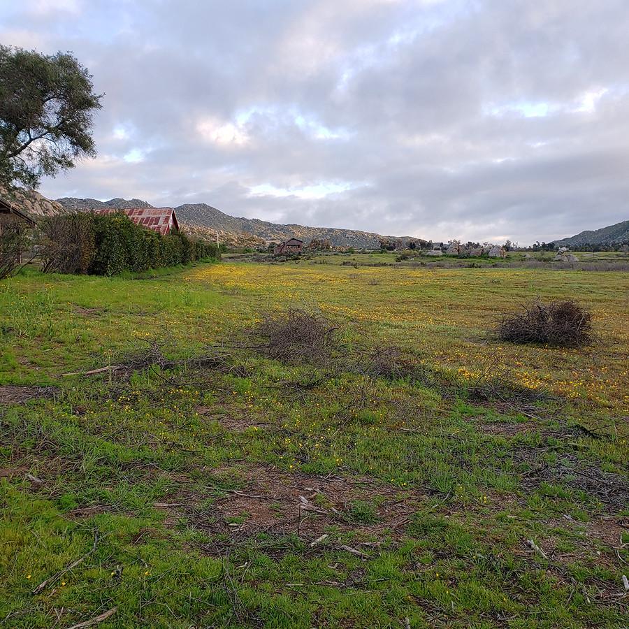 desert-buttercup-field