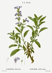 Garden sage (Salvia officinalis) illustration from Traité des A