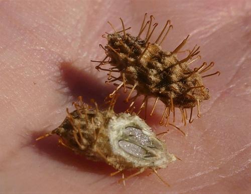 Xanthium spinosum# - Bathurst Burr, Seed