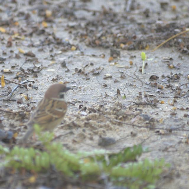 Eurasian Tree Sparrow Lump 11-24-17 3