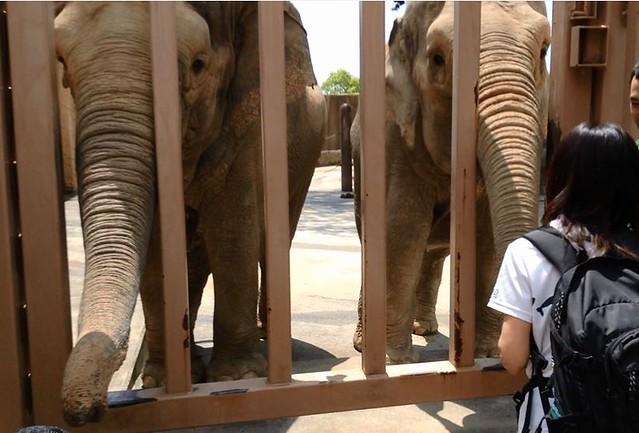 かみね動物園のアジアゾウ