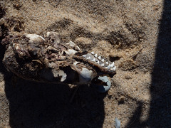 herring cove beach - dead seal
