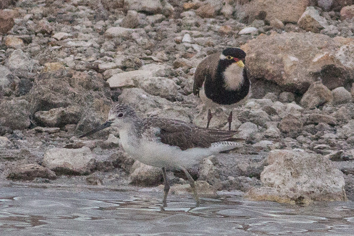 Banded Lapwing  and Common Greenshank