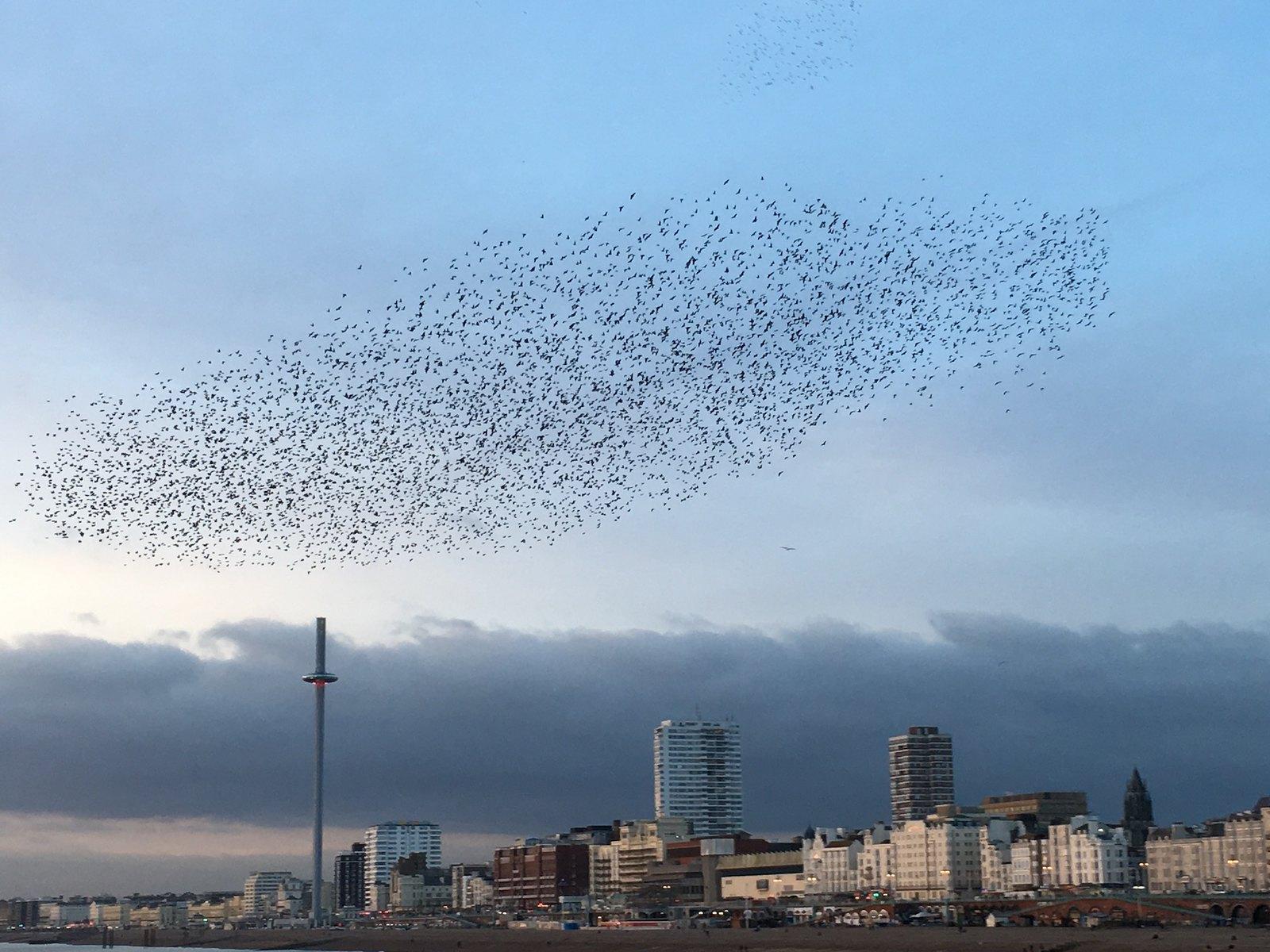 Starling murmuration, Brighton