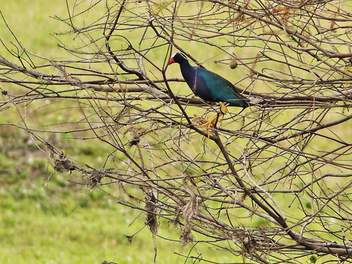 Purple Gallinule in tree 20190212